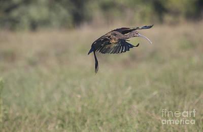 Ibis In Flight Art Print by Ruth Jolly