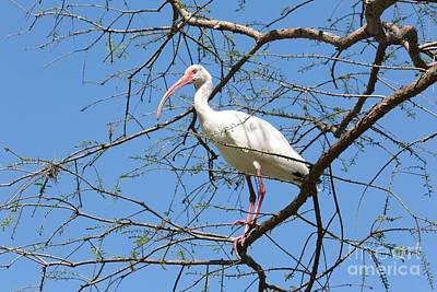 Photograph - Ibis In Tree by Carol Groenen