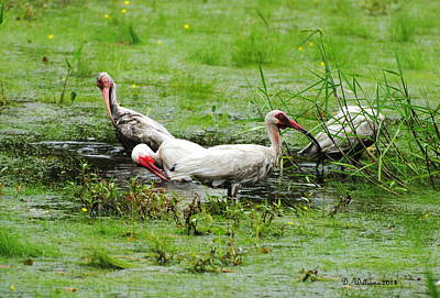 Ibis In Willow Pond Art Print