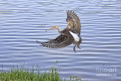 Deborah Brown Photograph - Ibis Incoming by Deborah Benoit