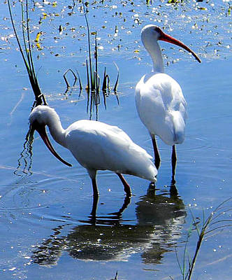 Photograph - Ibis Pair by Christy Usilton