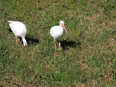Photograph - Ibis Pair by Ron Davidson