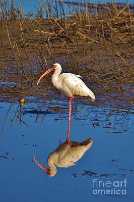 Photograph - Ibis Reflection by Bob Sample