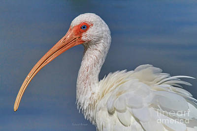 Ibis Ruffled Art Print by Deborah Benoit