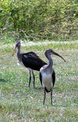 Photograph - Ibis by Sheri McLeroy