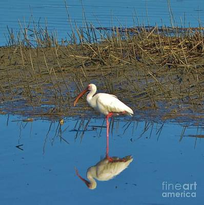 Photograph - Ibis Square Print by Bob Sample
