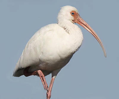 Ibis Up Close Art Print by Paulette Thomas