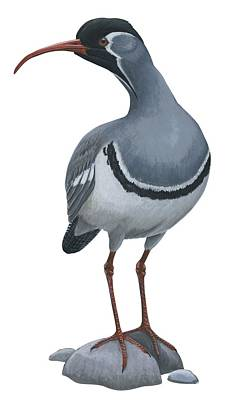 Ibisbill Art Print by Anonymous