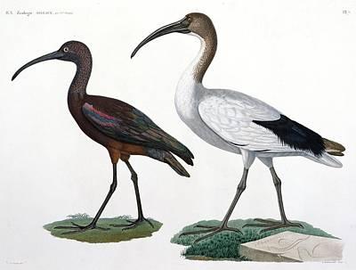 Ibis Painting - Ibises by Jules Cesar Savigny