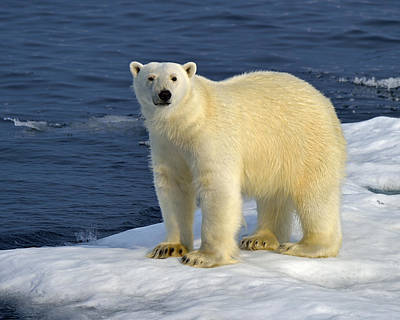 Baffin Island Photograph - Ice Bear by Tony Beck
