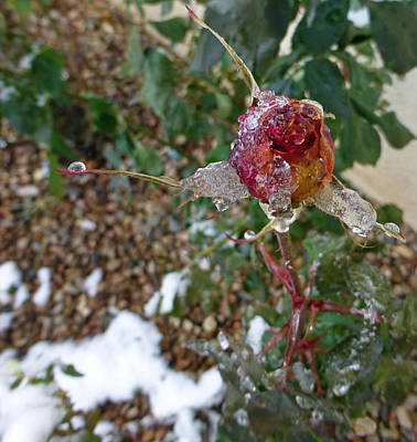 Photograph - Ice Cold Bud by Claudia Goodell