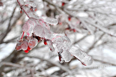 Photograph - Ice Covered Berries by Staci Bigelow