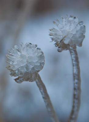 Photograph - Ice-covered Winter Flowers With Blue Background by Cascade Colors