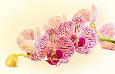 Barbara Smith Photograph - Ice Cube Orchid by Barbara Smith