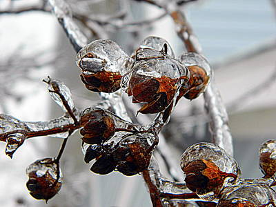 Photograph - Ice Ice Crepe Myrtle by Kathy Barney