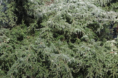 Photograph - Ice On Eastern Red Cedar by Daniel Reed