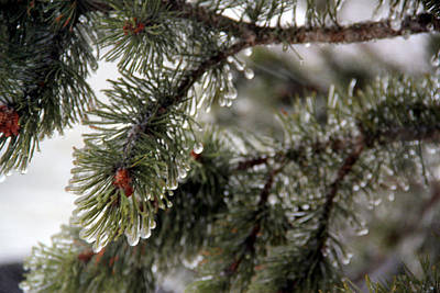 Photograph - Ice Pine by A K Dayton