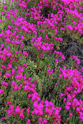 Ice Plant Along The Pacific Ocean Print by Chuck Haney