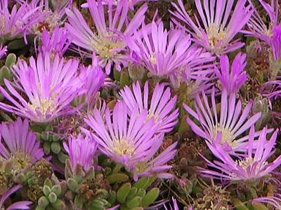 Photograph - Ice Plant by Helen Haw