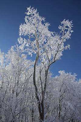 Photograph - Ice Tree by Carolyn Postelwait