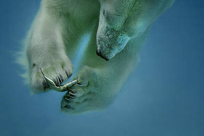 Polar Bear Wall Art - Photograph - Icebaer by Peter Wagner