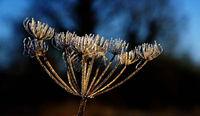 Photograph - Iced Cowparsley by David Hawkins-Weeks