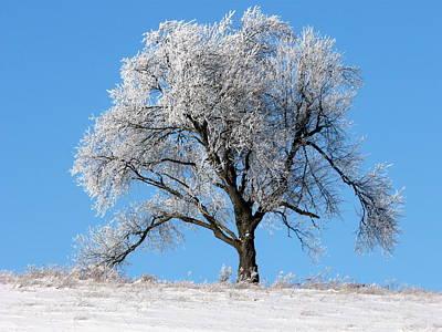 Iced Maple Art Print