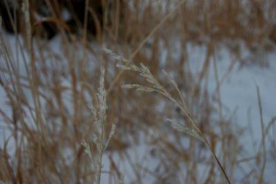 Photograph - Iced Prairie Grass by Dakota Light Photography By Dakota