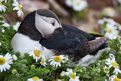 Auklets Wall Art - Photograph - Iceland, Breidavik, Puffin Nesting by Hollice Looney