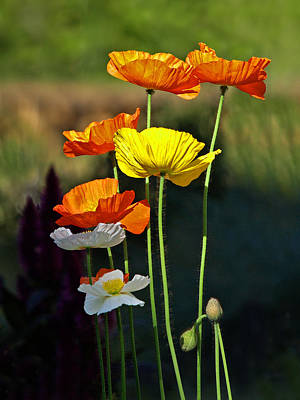 Garden Petal Image Photograph - Iceland Poppies In The Sun by Gill Billington