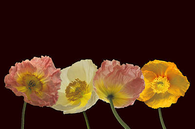 Art Print featuring the photograph Iceland Poppies On Black by Susan Rovira