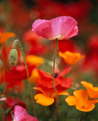 Focus On Foreground Photograph - Iceland Poppies Papaver Nudicaule by Panoramic Images