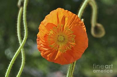 Photograph - Iceland Poppy In Bloom  by Bridgette Gomes