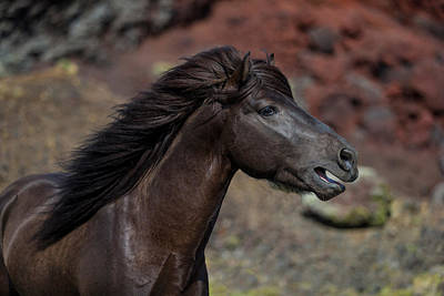 Icelandic Black Stallion, Iceland Art Print by Panoramic Images