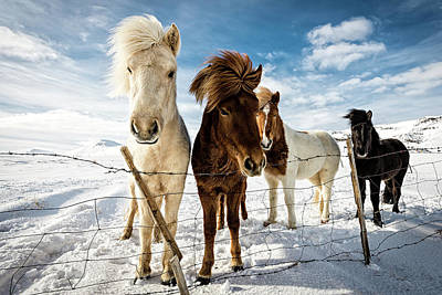 Horse Photograph - Icelandic Hair Style by Mike Leske