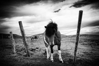 Photograph - Icelandic Horse In Iceland Black And White by Matthias Hauser
