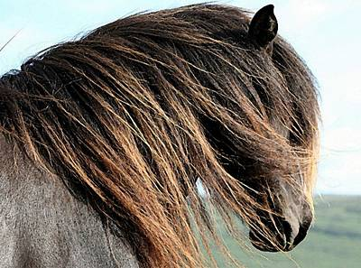 Icelandic Horse Painting - Icelandic Horse Portrait  by Olde Time  Mercantile