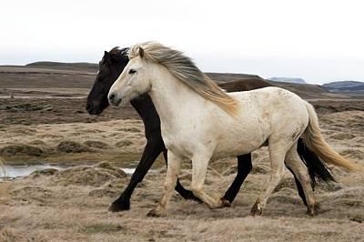 Icelandic Horses Print by Dr P. Marazzi