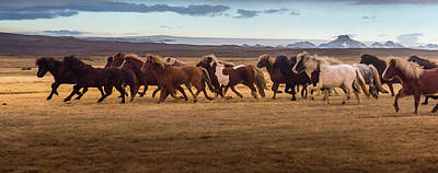 Icelandic Horses Galloping Over The Art Print by Coolbiere Photograph