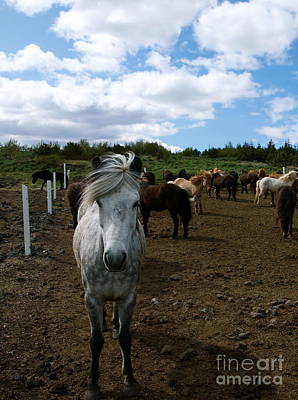 Photograph - Icelandic Horses Iv by Louise Fahy
