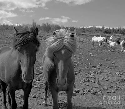 Photograph - Icelandic Horses  by Louise Fahy