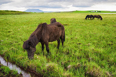 Photograph - Icelandic Horses On Green Meadow In Iceland by Matthias Hauser