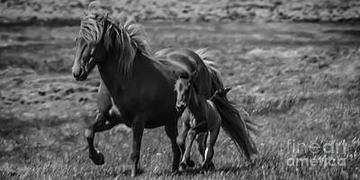 Photograph - Icelandic Mare With Foal by Michael Canning