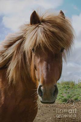 Photograph - Icelandic Pony II by Louise Fahy