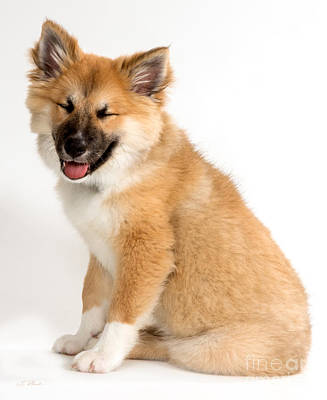 Sheepdog Photograph - Icelandic Sheepdog Puppy Squinting by Iris Richardson