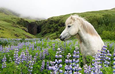 White Stallion Photograph - Icelandic Stallion In The Lupins by Heather Swan