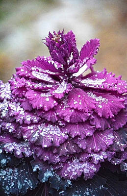 Photograph - Icey Kale Plant by Sandi OReilly