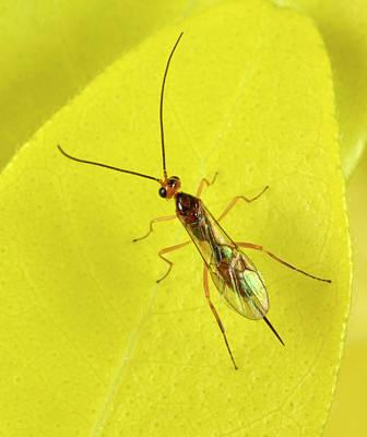 Ichneumon Wasp Art Print