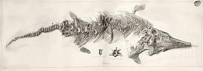 Conybeare Photograph - Ichthyosaur Skeleton, 1819 by Paul D. Stewart