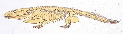Paleozoology Photograph - Ichthyostega Skeleton by Deagostini/uig